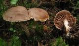 Cortinarius agathosmus image