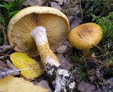 Cortinarius saginus image