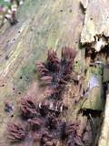 Stemonitis splendens image