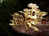 Tricholomopsis aurea image