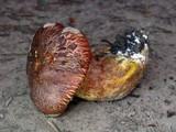 Suillus caerulescens image