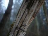 Hypochnicium lundellii image