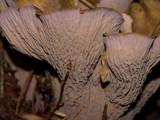 Gomphus clavatus image