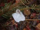 Mycena plumipes image
