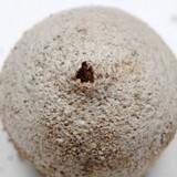 Tulostoma cretaceum image
