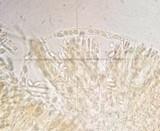 Phaeohelotium carneum image