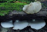 Crepidotus applanatus image