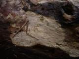 Scytinostroma portentosum image