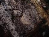 Resupinatus poriaeformis image