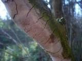 Fomitiporia punctata image