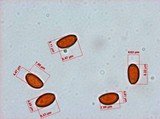 Pholiotina smithii image