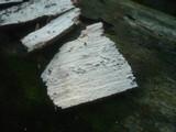 Athelia decipiens image