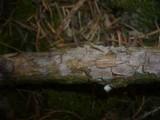 Peniophora pithya image
