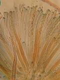 Peziza echinospora image