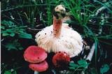 Russula tenuiceps image