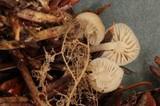 Mycena insignis image