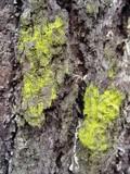 Chrysothrix candelaris image