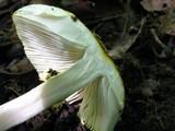 Amanita levistriata image