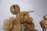 Marasmius nigrodiscus image