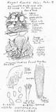 Sistotrema confluens image