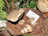 Agaricus lilaceps image