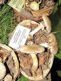 Agaricus californicus image