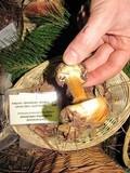 Cortinarius calochrous image