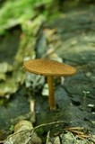 Phaeomarasmius erinaceus image
