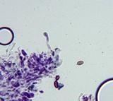Conocybe cyanopus image