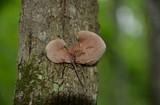 Crepidotus mollis image