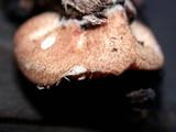 Crepidotus crocophyllus image