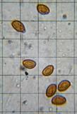 Gymnopilus flavidellus image
