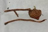 Psilocybe subfimetaria image