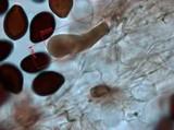 Panaeolus fimicola image