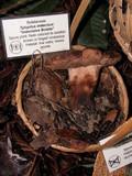 Tylopilus indecisus image