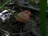 Boletus ripariellus image