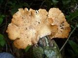 Antrodiella versicutis image