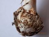 Amanita brunnescens image