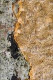 Inonotus nodulosus image