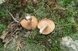 Lactarius rimosellus image