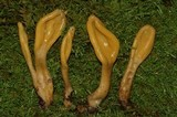 Microglossum olivaceum image