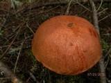 Leccinum piceinum image