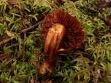 Cortinarius cinnabarinus image