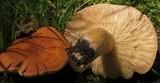 Lactarius volemus image