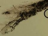 Russula subtilis image