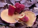 Boletus bicoloroides image