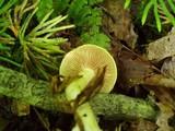 Cortinarius luteus image