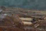 Leptosphaeria purpurea image