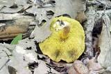 Boletus tenax image