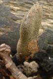 Xylaria longipes image